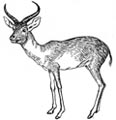 Antilope Malvorlage
